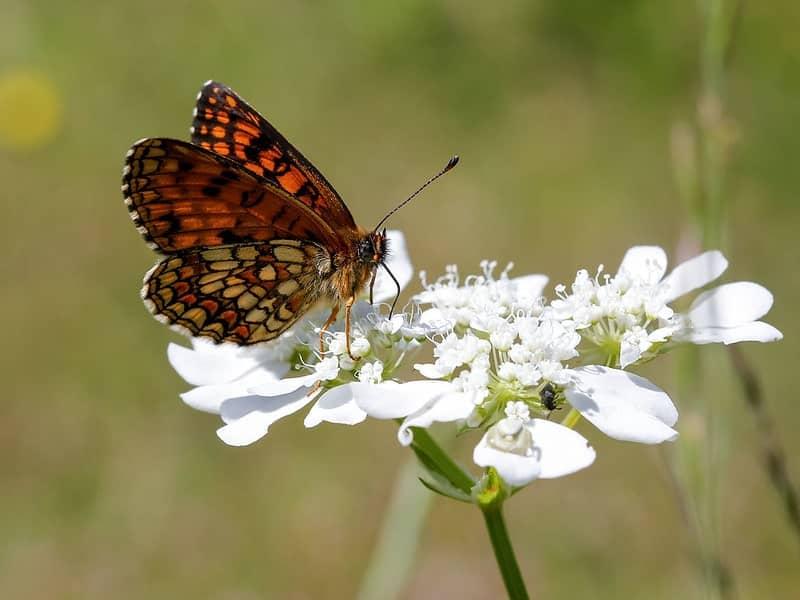 vlinder in Galicica