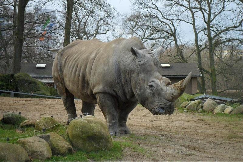 Neushoorn in de Schwerin Zoo