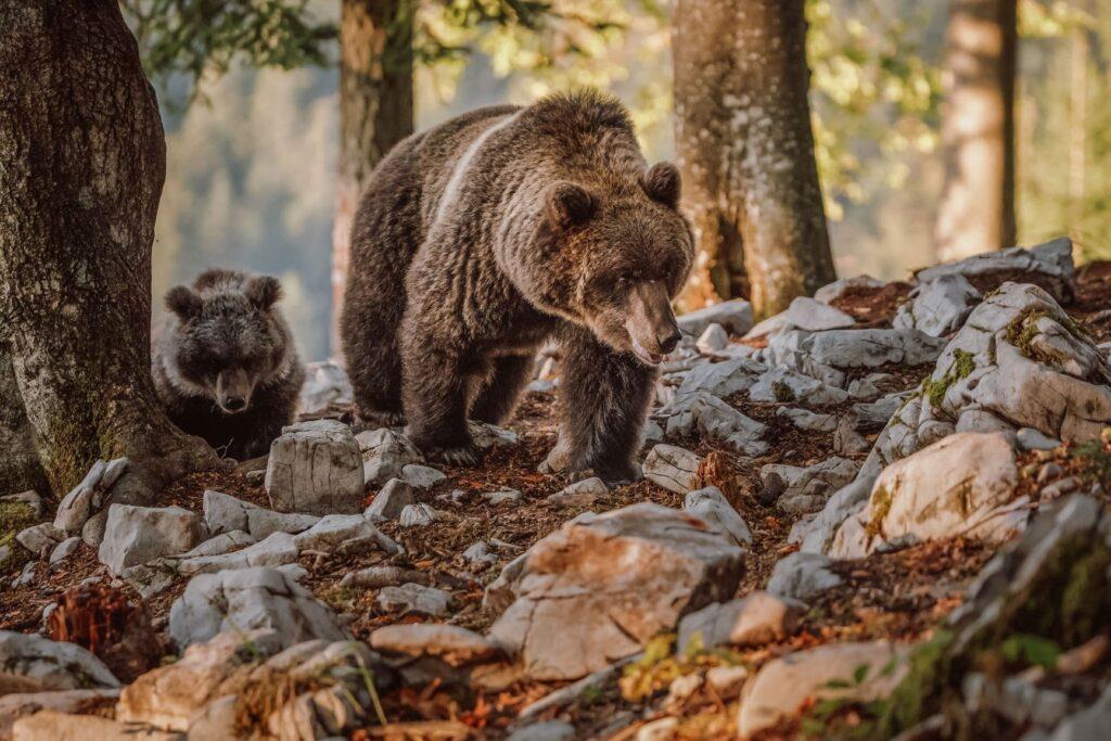 Beren kijken in Slovenië