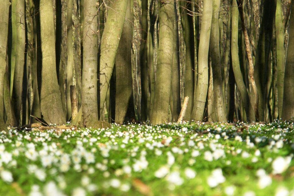 Nationaal Park Jasmund Anemonen